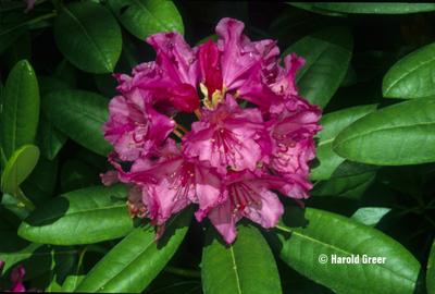 Rhododendron 'Haaga'