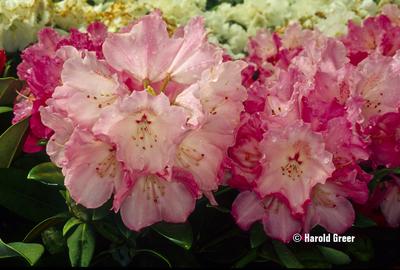 Rhododendron 'Hachmann's Belona'