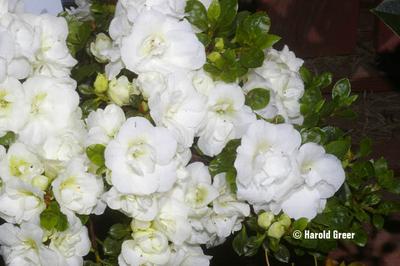 Azalea 'Hardy Gardenia Sport Sport'