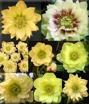 Helleborus x hybridus 'Golden Lotus'
