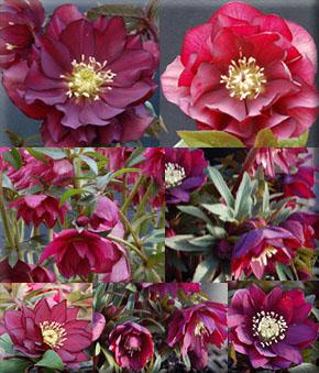 Helleborus x hybridus 'Red Sapphire'