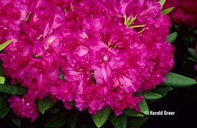 Rhododendron 'Hot Dawn'