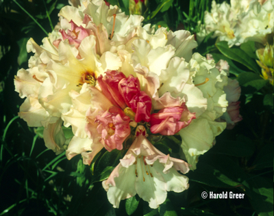 Rhododendron 'Ice Music'