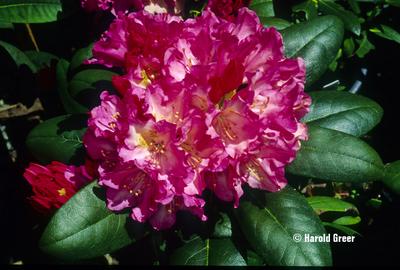Rhododendron 'Kalinka'