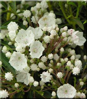 Kalmia latifolia 'Elf'