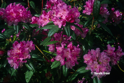 Rhododendron 'Landmark'