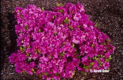 Azalea 'Leslie's Purple'