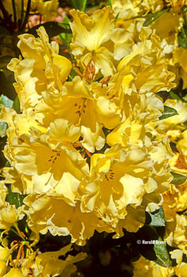 Rhododendron 'Many Moons'