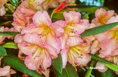 Rhododendron 'Margaret Dunn'