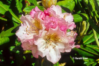 Rhododendron 'Mikkeli'