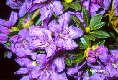 Rhododendron 'Mother Greer'