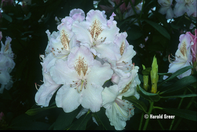 Rhododendron 'Mrs. Charles E. Pearson'