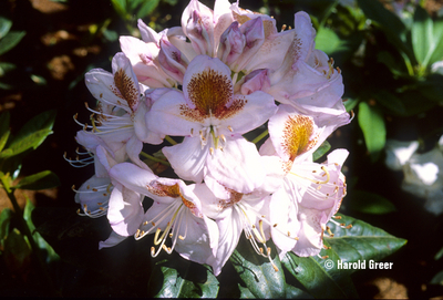 Rhododendron 'Mrs. T. H. Lowinsky'