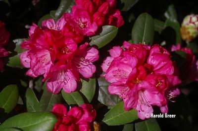 Rhododendron 'Noyo Dream'
