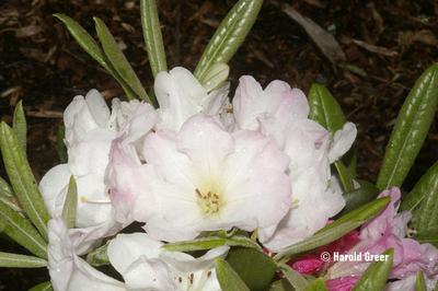 Rhododendron 'Noyo Snow'