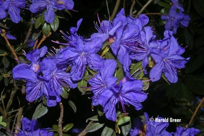 Rhododendron 'Oceanlake'