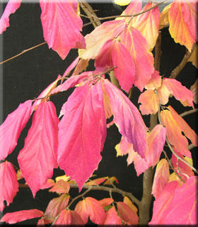 parrotia persica 39 vanessa 39 japanese maples ornamental trees. Black Bedroom Furniture Sets. Home Design Ideas