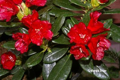 Rhododendron 'Patriot's Dream'