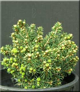 Picea abies 'Wagnerii'