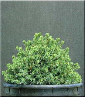 Picea mariana 'Golf Ball'