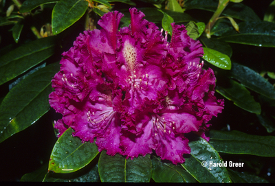 Rhododendron 'Purple Lace'