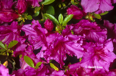 Azalea 'Purple Splendor'