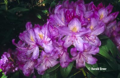 Rhododendron 'Purpureum Elegans'
