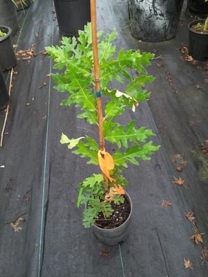 Quercus cirrus 'Aureo Marmorata'