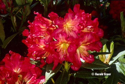 Rhododendron 'Red Gold'