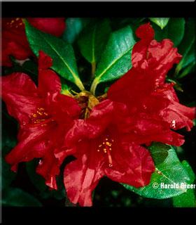 Rhododendron 'Baden Baden'