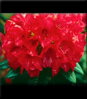 Rhododendron 'Belva's Joy'
