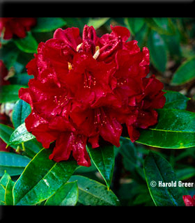 Rhododendron 'Black Magic'