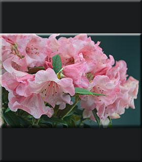 Rhododendron 'Fabia' x bureavii