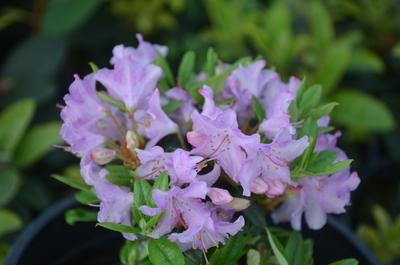 Rhododendron 'Ernie Dee'