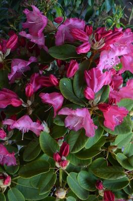 Rhododendron 'Karin'