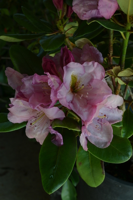 Rhododendron 'Lavender Princess'