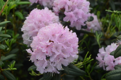 Rhododendron 'Manitou'