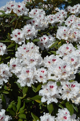 Rhododendron 'Molly Smith'
