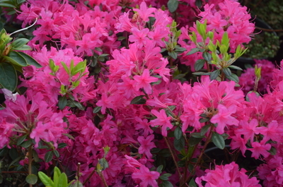 Rhododendron 'Ria Hardjizer'