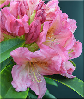 Rhododendrons (Hybrids & species) image