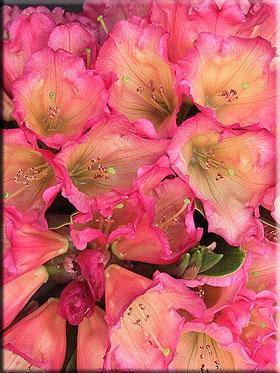 Rhododendron 'Unique Marmalade'