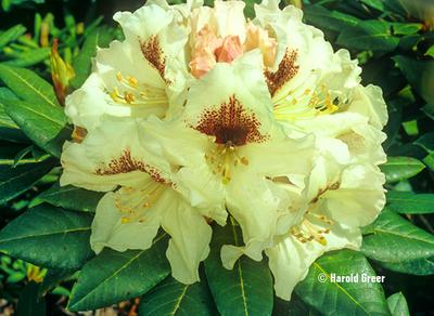 Rhododendron 'Sappho' x 'Tweedy Bird'