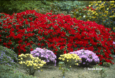 Rhododendron 'Scarlet Wonder'