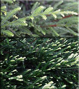 Sequoia sempervirens 'Albospica'
