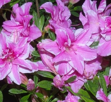 Azalea 'Sugar and Spice'