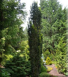 Taxus x media 'Bean Pole'