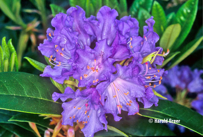 Rhododendron 'True Blue'