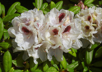 Rhododendron 'Vanilla Spice'