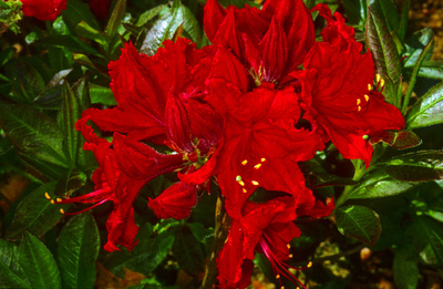 Azalea 'Wallowa Red'