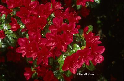 Azalea 'Ward's Ruby'
